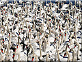 SY5783 : A Crowd of Swans Waiting to be Fed by David Dixon