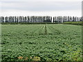 SJ3766 : Potato field alongside Ferry Lane, Higher Ferry by John S Turner