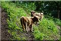 ST1436 : Highland cows above Little Quantock Farm by Bill Boaden