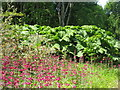 NR6447 : Gunnera and Primula at Achamore Gardens by M J Richardson