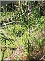 TG3306 : Marsh woundwort (Stachys palustris) by Evelyn Simak