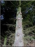 NO2604 : Tree adjacent to path, Lomond Hills by Bill Kasman