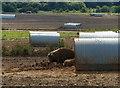 TF7921 : Free range pig farming by Mat Fascione