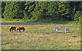 TM4293 : Horses in pasture, near Hollow Way Hill, Gillingham by Roger Jones