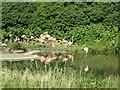 SO7204 : Caribbean Flamingos at WWT Slimbridge by Oliver Dixon