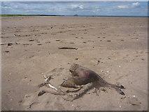 NT6578 : Coastal East Lothian : Half A Deer, Belhaven Sands by Richard West