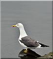 J3474 : Lesser black-backed gull, River Lagan, Belfast (July 2017) by Albert Bridge