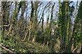SX5157 : Leigham Wood by N Chadwick