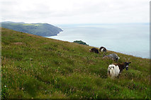 SS7049 : Feral goats above the Valley of Rocks by Bill Boaden
