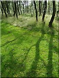 SK2479 : Silver birch shadows on the grassy track to Bole Hill Quarry by Neil Theasby