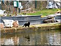 SJ7891 : A canalside cat by Gerald England