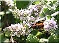 TQ7818 : Tachinid fly on mint flowers, Churchland Lane by Patrick Roper