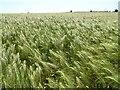 SP1204 : Ears of barley by Philip Halling