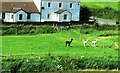 NO2201 : Alpacas in Fife! by Bill Kasman
