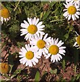 TG3004 : Scented mayweed (Matricaria recutita) - flowers by Evelyn Simak