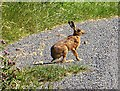 TA3720 : Hare on Out Newton Road by Paul Harrop