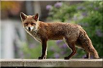 TQ3266 : Mrs.Fox by Peter Trimming