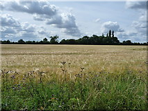TL9870 : Barley field, south side of Ixworth Road by Christine Johnstone