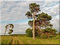 NH7957 : Scots Pine by valenta