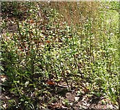 TM4599 : A stand of Water figwort (Scrophularia auriculata) by Evelyn Simak