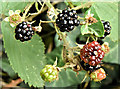 J3875 : Blackberries, Belfast (July 2017) by Albert Bridge