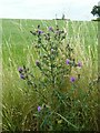 SK4339 : Spear Thistle near Cat and Fiddle windmill by Alan Murray-Rust