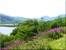 SH7157 : Fireweed (Chamaenerion angustifolium) growing beside the A4086 by Rod Allday