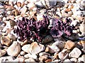 SZ8794 : Young leaves of sea kale, Church Norton shingle beach by Patrick Roper
