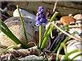 SZ8794 : Grape hyacinth on Church Norton beach by Patrick Roper