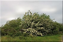 NX4355 : Pathside Hawthorn by Andrew Wood