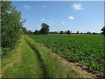 TG3609 : Sugar beet near St Peter's Church by Hugh Venables
