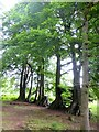 NY5458 : A stand of beech trees by Oliver Dixon