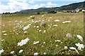 SO7844 : Wildflowers on Malvern Common by Philip Halling