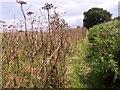 TG2404 : Narrow path between hogweed and bracken by Evelyn Simak