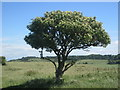 SP9514 : Tree on the Ridgeway between Tring and Ivinghoe by Peter S