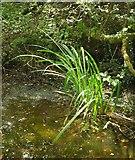 SX8158 : Leaves in pond by the JMHT by Derek Harper