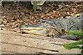SH8378 : American Alligator (Alligator mississippiensis) by Richard Hoare