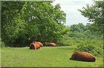 ST5673 : Cattle, Leigh Woods by Derek Harper