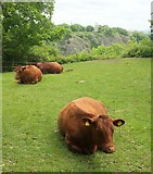 ST5673 : Cattle, Leigh Woods by Derek Harper