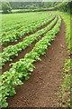ST5127 : Potato crop by the Macmillan Way West by Derek Harper