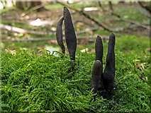 NT1074 : Dead Moll's Fingers (Xylaria longipes) by Greg Fitchett