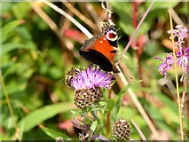 NZ2313 : Peacock butterfly (and honey bee) on a Knapweed flower by Oliver Dixon