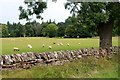 NS3379 : Sheep grazing at Lyleston by Alan Reid