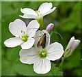 TQ8020 : Meadow long-horn moth on cuckooflower or lady's smock by Patrick Roper