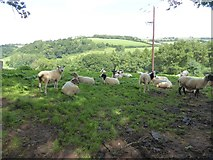 SS9109 : Flock of sheep near Little Silver by David Smith