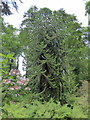 SN0013 : Monkey Puzzle Tree, Picton Park by PAUL FARMER