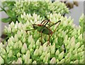 TQ7818 : Speckled bush cricket on buds of an ice plant, Churchland Lane by Patrick Roper