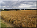 SE3466 : Wheatfield at Westwick House Farm by Stephen Craven