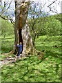 SH6670 : Exploring a hollow tree at Aber Falls by Annie Mills