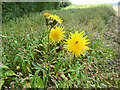 SU6484 : Perennial Sow-thistle, Garsons Hill by Robin Webster
